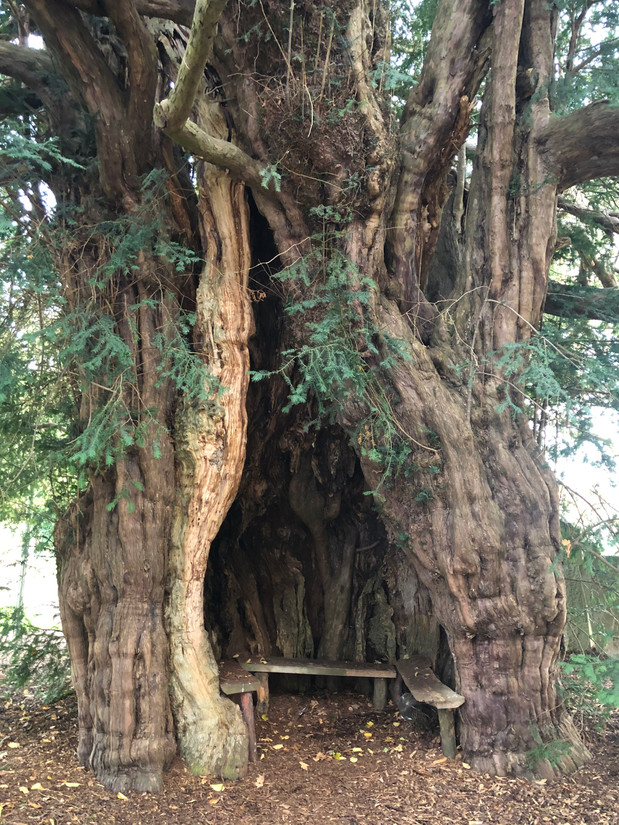 Peterchurch Yew