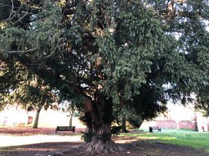 Canterbury Yew