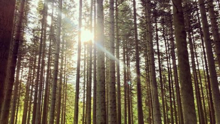 Shamanic Journey with the Plants: Pine
