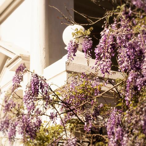 CharlestonWisteria_9491.jpg