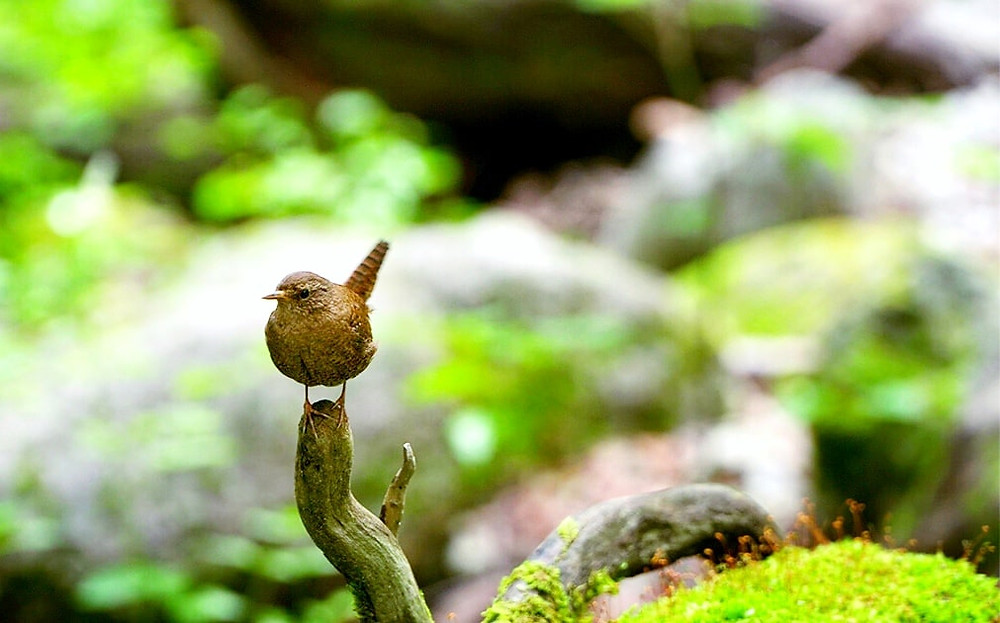 earth trekking 上高地のミソサザイ 可愛らしい尻尾が特徴的