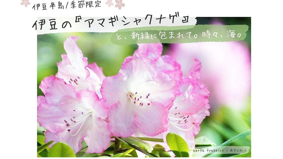 【新緑×ツツジ】伊豆の天城山『アマギシャクナゲ』と新緑に包まれて。時々、海。
