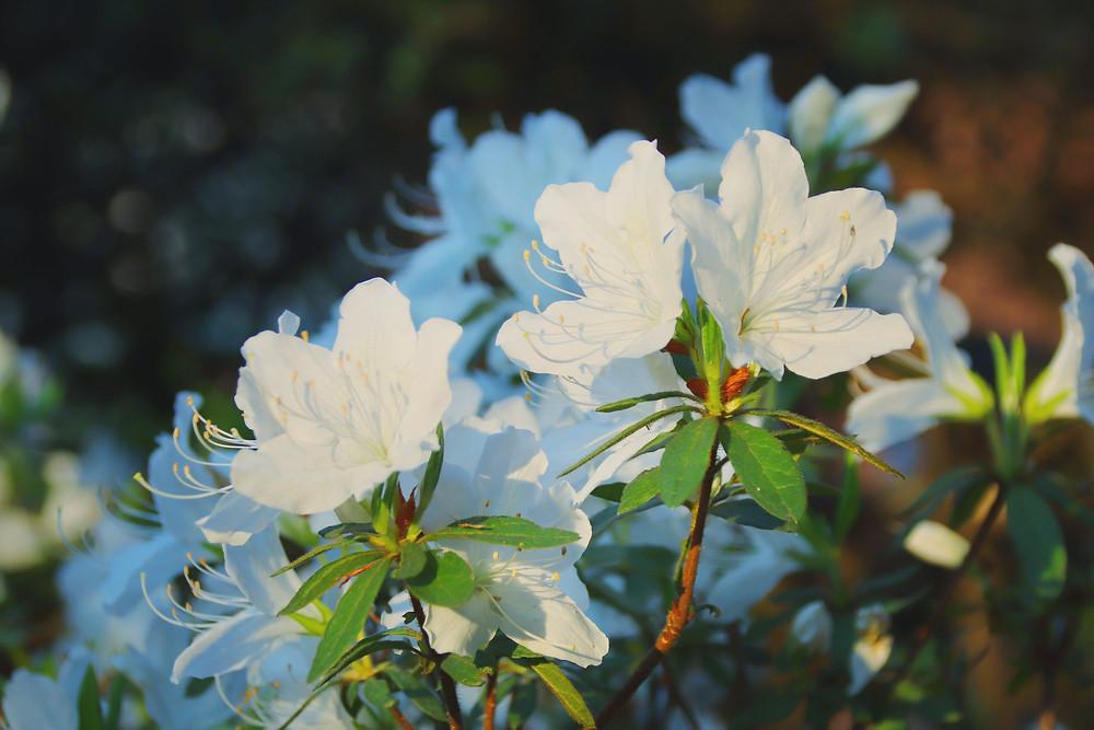 白いツツジは純白の初恋・ツツジの花言葉・earth trekking