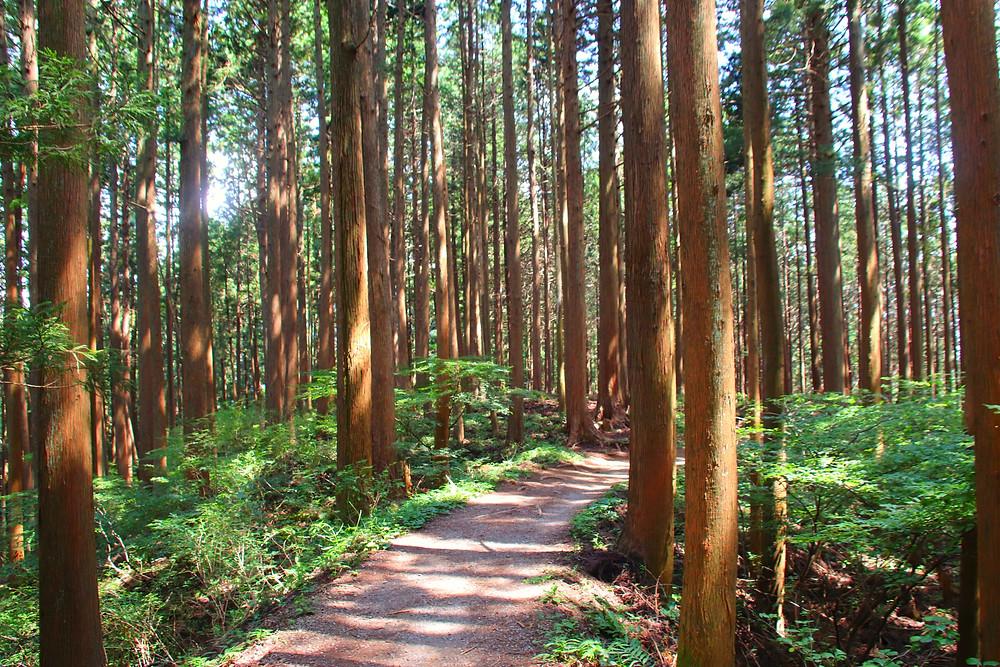 針葉樹の木漏れ日もまた綺麗 earth trekking