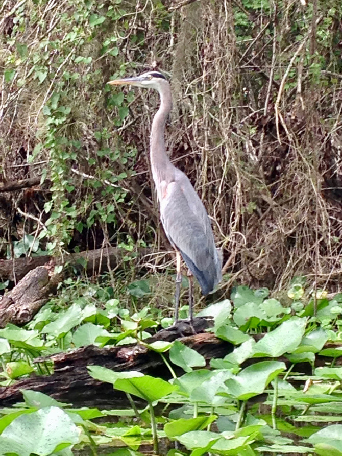 The Playful Great Blue Heron