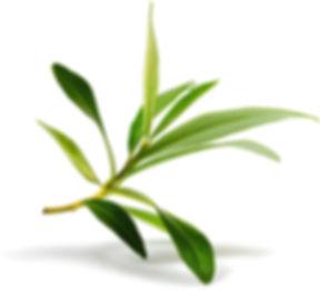 olive_tree_olivum.jpg