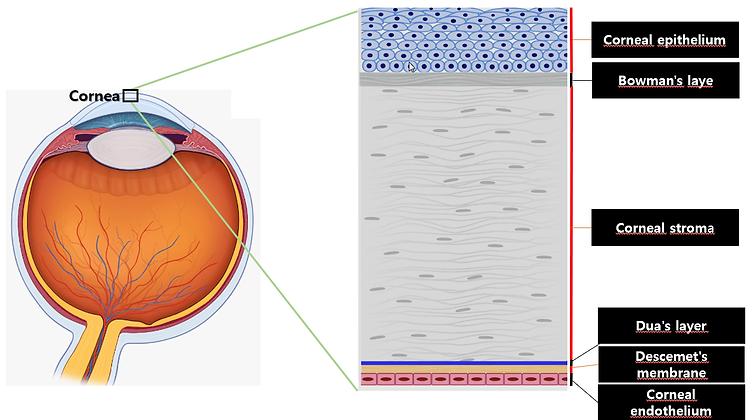 cornea.png