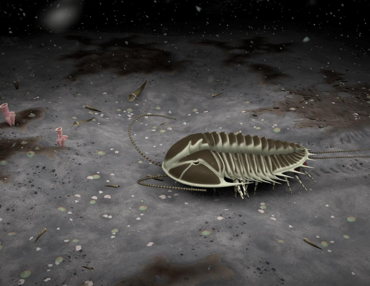 Olenoides - Trilobite