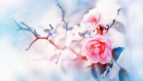 Rose im Schnee.