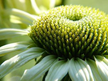 echinacea-4544313_1920.jpg