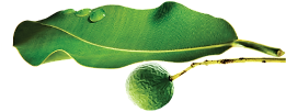 Saru-Organik-Monoi-de-Tahiti-Body-Oil-Vucut-Yagi-Tamanu