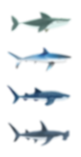 R sharks-11.png
