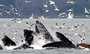 CGL - Humpback Whale 035C - Bubble Feedi