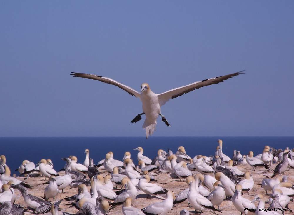 Gannet landing at the Plateau colony