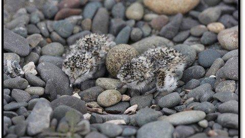 Banded Dotterel Chicks & Eggs