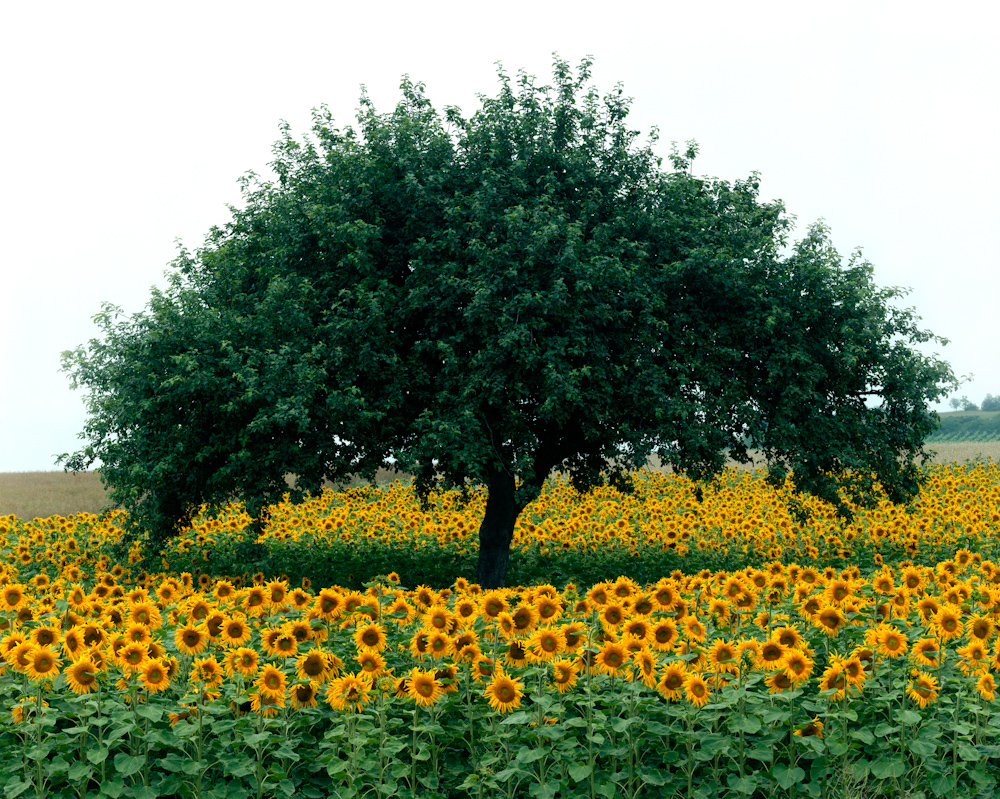 TREES_sunflower 24x30.jpg