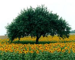 TREES_sunflower 24x30.jpg