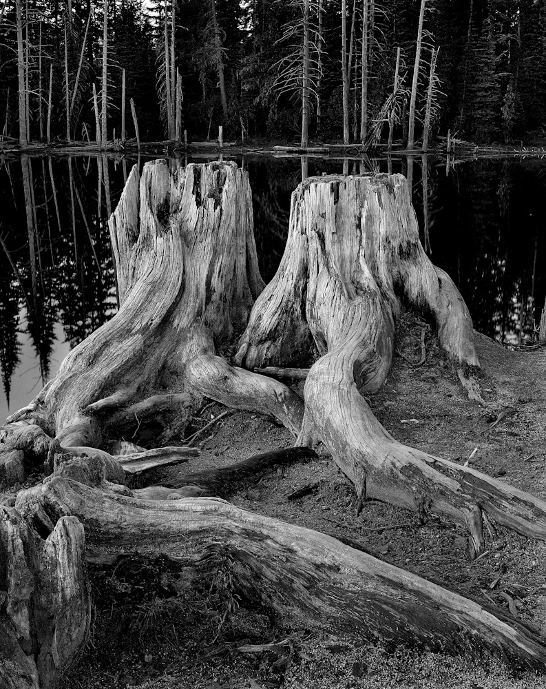 TREES_old friends11x14.jpg