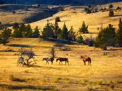 WATERCOLOR_Wild horses11x14.jpg