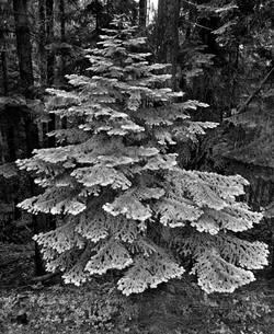 TREES_fir tree.jpg