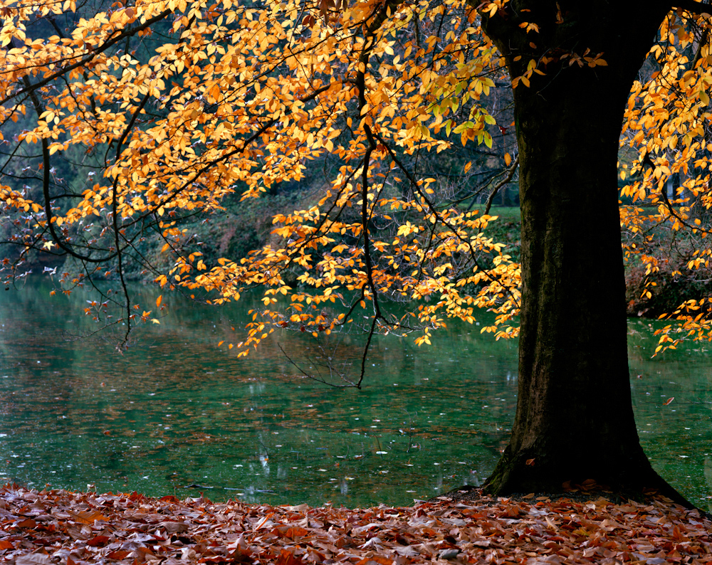 TREES_1138_Carulli_laurelhurst fall.jpg