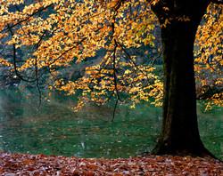 TREES_1138_Carulli_laurelhurst fall.jpg