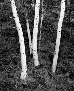 TREES_dancing aspen 30x 40.jpg