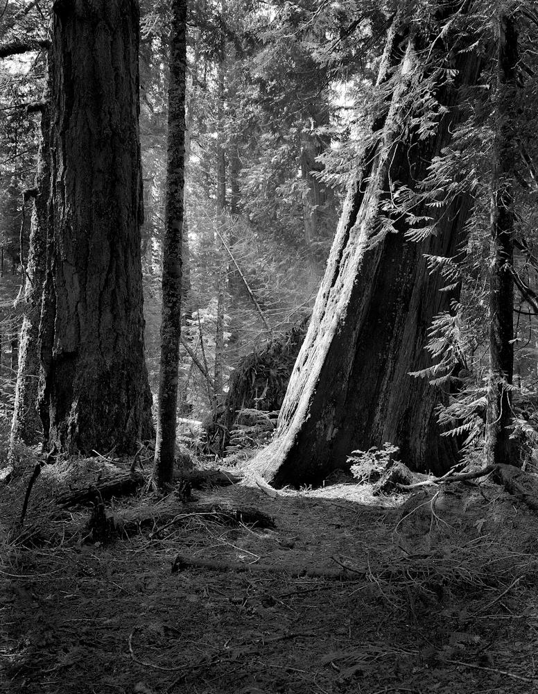 TREES_sunlite raineer,11x14.jpg