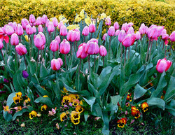 WATERCOLOR_tulips.jpg