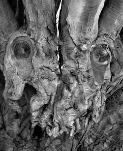 TREES_dragon tree 11 x 14.jpg