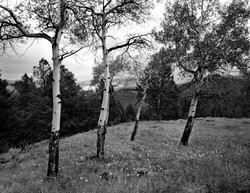 TREES_storm birch_.jpg