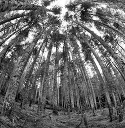 TREES_palm tree forest bw12 x12.jpg