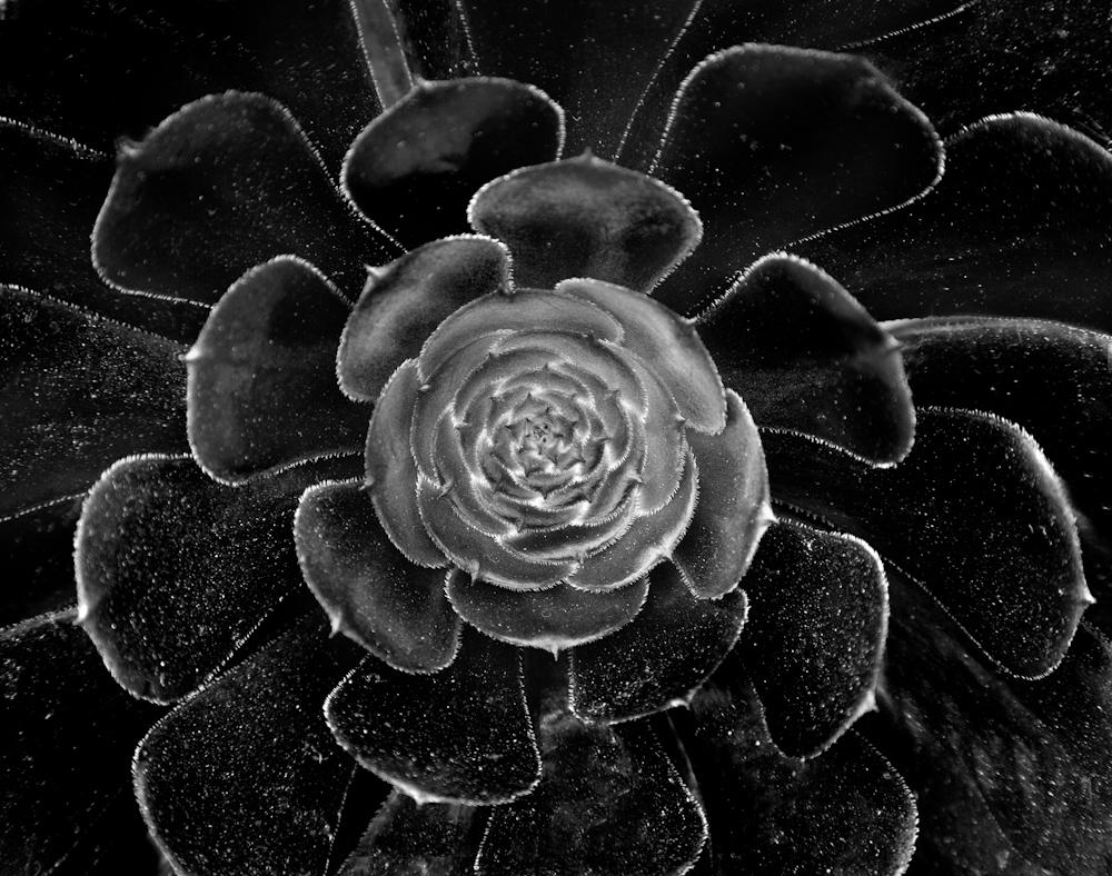 FLOWERS_black succulent_.jpg