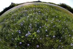 FLOWERS_camas lily wide 16x24.jpg