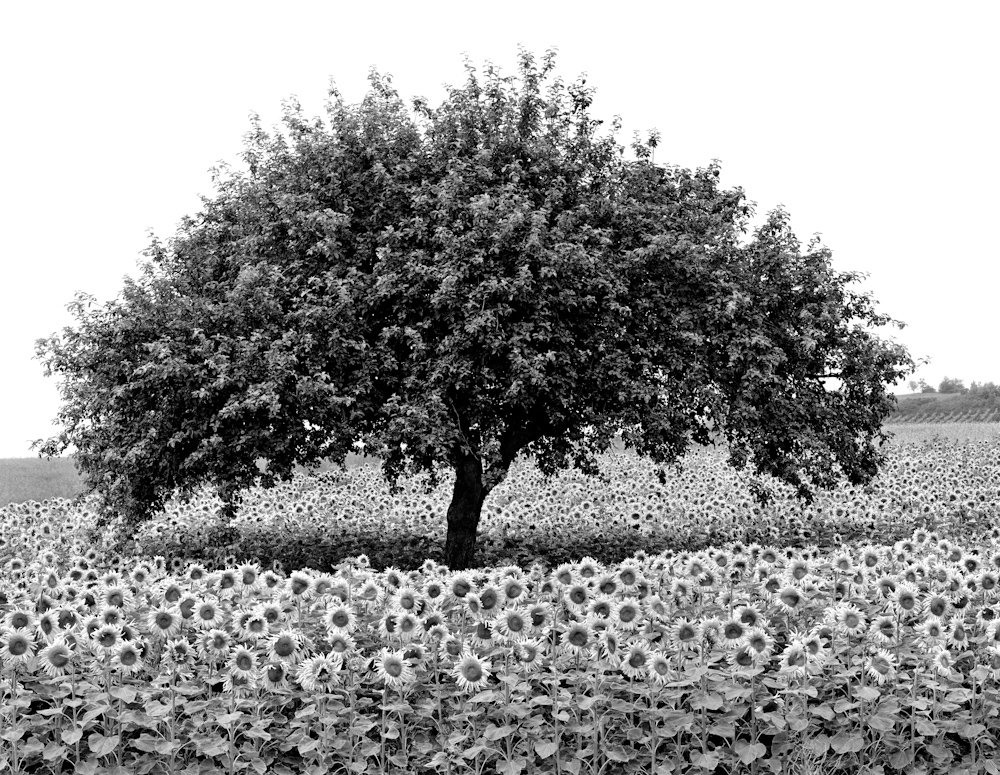 TREES_8848_AAsunflower 30x40.jpg