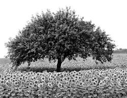 TREES_8848_AAsunflower 30x40.jpg