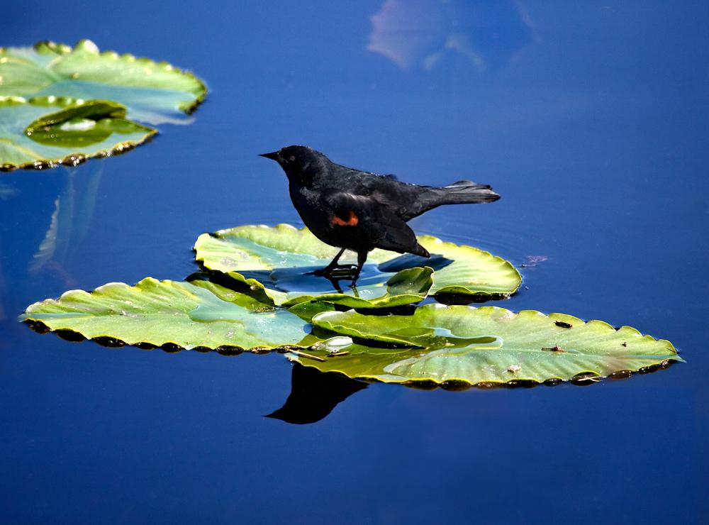 Animals__blackbird+lily+pad+11X14+2.jpg
