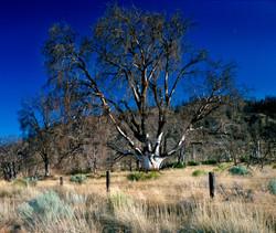 TREES_oak tree.jpg