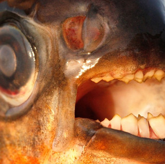 Warning over testicle-biting fish in Denmark? It's all wet