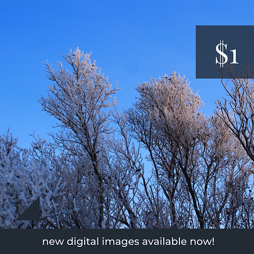 Digital Web Graphic   Frosted Treetops on Blue Sky   Photography