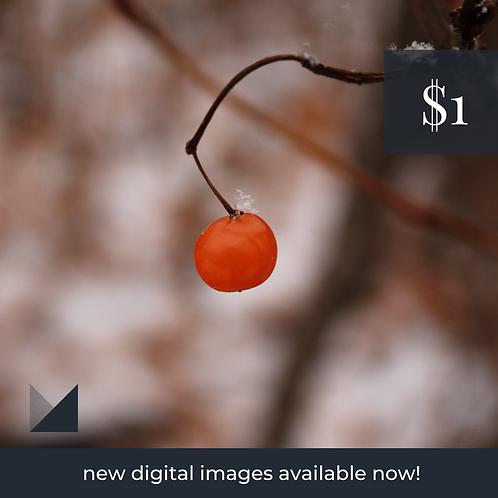 Digital Web Graphic   Orange Winter Berry   Photography