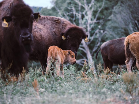 Bison Meatloaf Recipe from Bison Farmer Liz Riffle of Riffle Farms