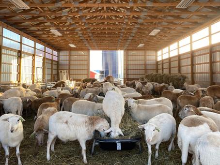 Lamb for Andrew Tarlow -- Evans & Evans Farm