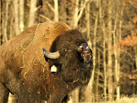 Veterans Farming Bison: An All American Story