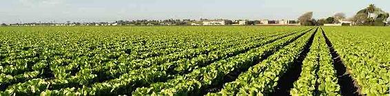 lettuce-field-1.jpg