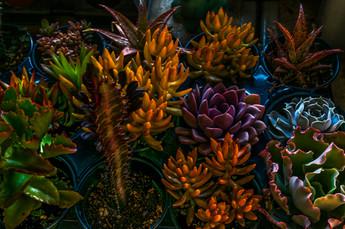 Succulent Color DSC_5986.jpg