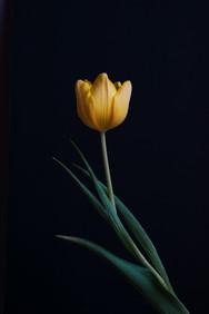 tulip_DSC1407.jpg
