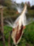 milkweed_seeds.webp