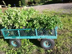 Tea Project Plants
