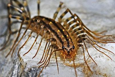 centipedes.jpg